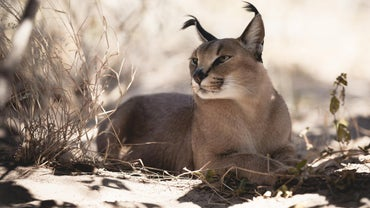 What Are Caracal Kittens?