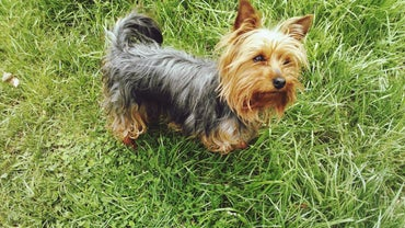 What Are Some Names For A Male Yorkie Referencecom