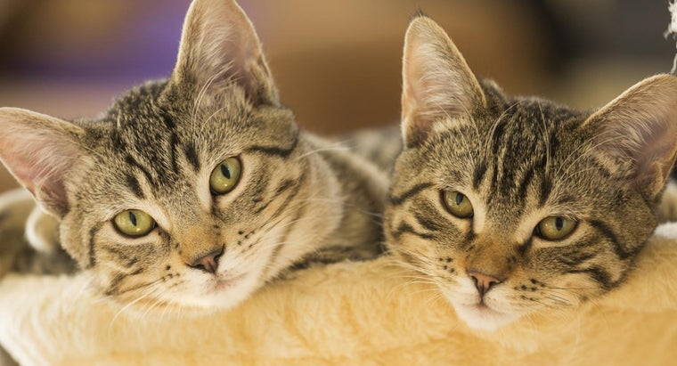 What Are Some Hypoallergenic Cat Breeds?