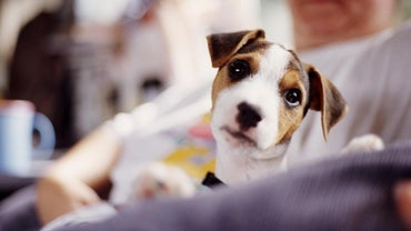 What Do Jack Russell Terriers Eat?