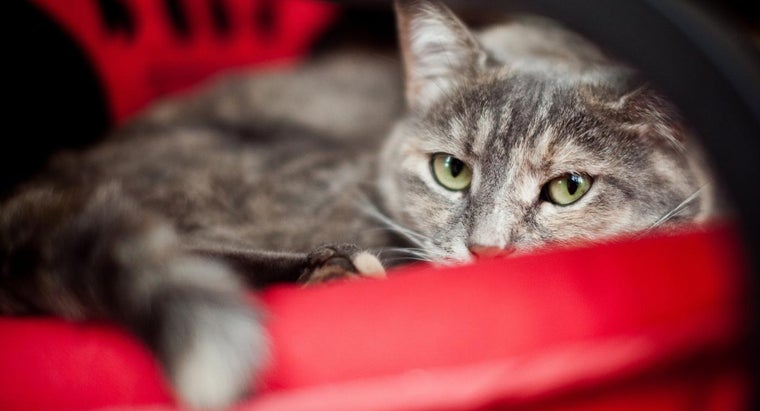 What Are the Signs of Tapeworms in Cats?