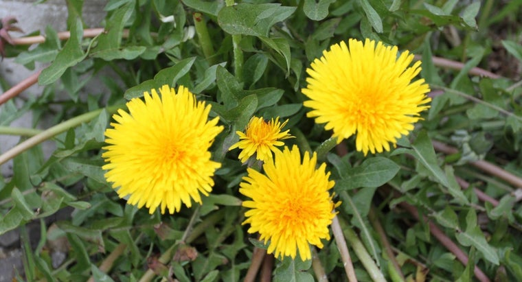 Are There Any Medical Benefits of Consuming Dandelion Herbs?