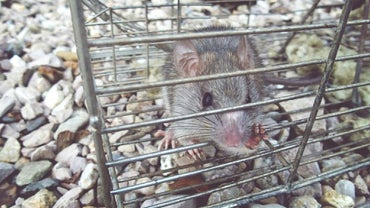 How Do I Get Rid of Rats and Mice Without Poison?