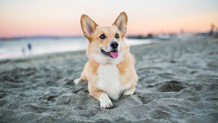 Which Organizations Rescue Corgis?