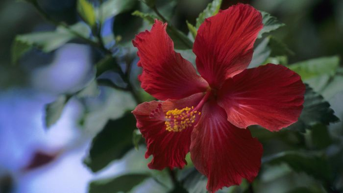 How Do You Prune Hibiscus Plants?