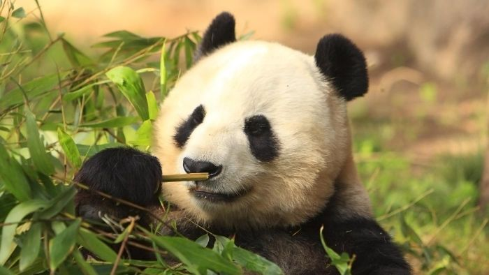 Is There a List of Panda Facts?