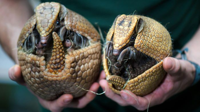 What Are the Laws for Baiting Armadillos?