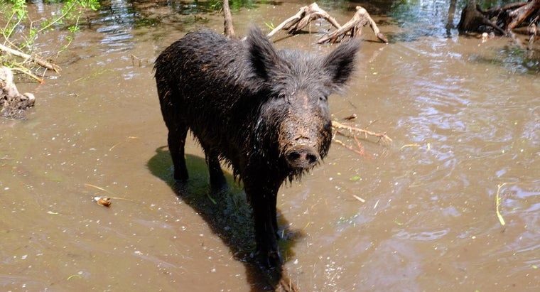 What Do Feral Pig Maps Say About the Feral Pig Population in the USA?
