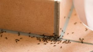 What are some effective ways to get rid of ants in your house?