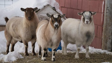 Where Can You Find Mini Pygmy Goats Available for Sale?