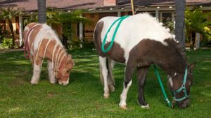 Where Do Mini Horses Work for the Sheriff's Department?