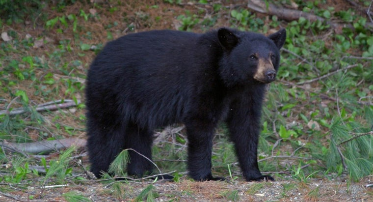 What Are Some Facts About Black Bears?