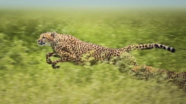 What Are Some Facts About Cheetahs?