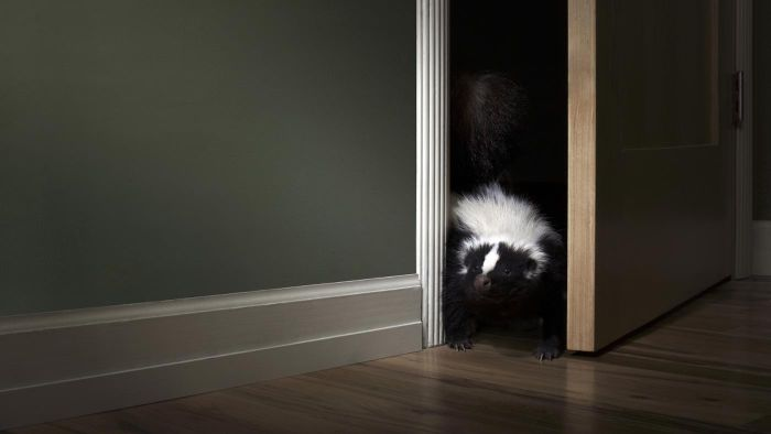 What Are Some Ways to Get Rid of a Skunk Living Under Your House?