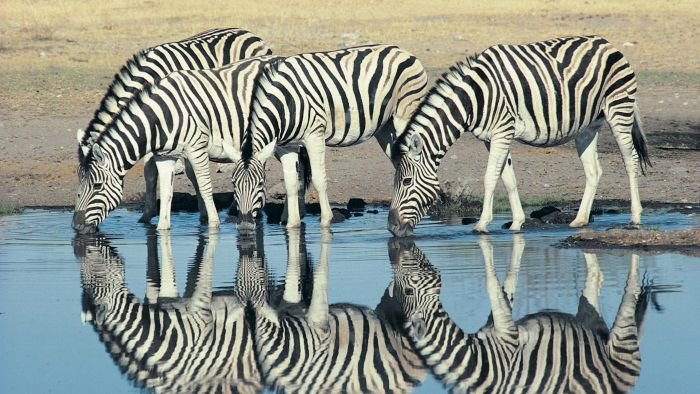 What Are Some Facts About Zebras?
