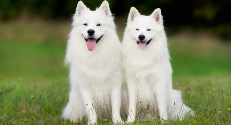How Do You Find Samoyeds Available for Adoption?
