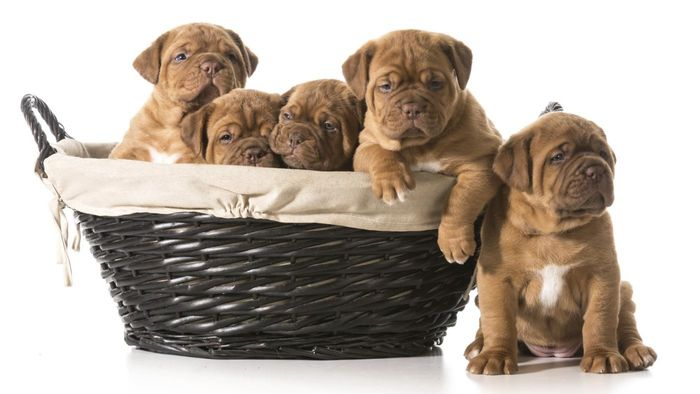 What Are Some Tips for Raising Mastiff Puppies?