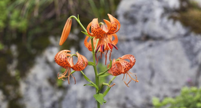 How Do You Transplant Tiger Lilies?