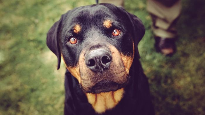What are the most aggressive dog breeds?