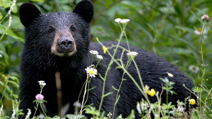 Where Can You Find Information on Black Bears?