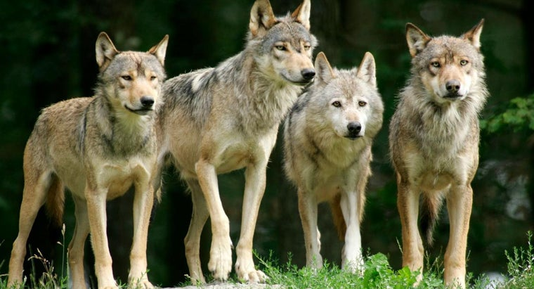 What Are Some of the Basics of Wolf Behavior?