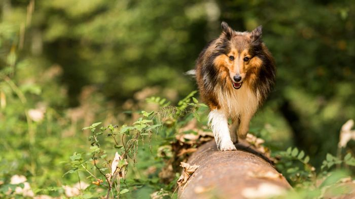 From Where Can You Adopt Sheltie Dogs?
