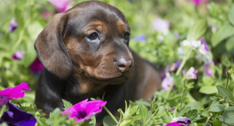 How Does Someone Adopt a Dachshund Puppy?