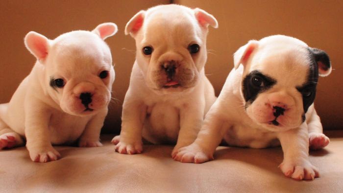 Where Can You Buy or Adopt French Bulldog Puppies?