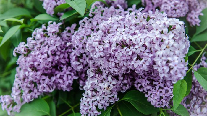 What is a good time of year to prune a lilac?