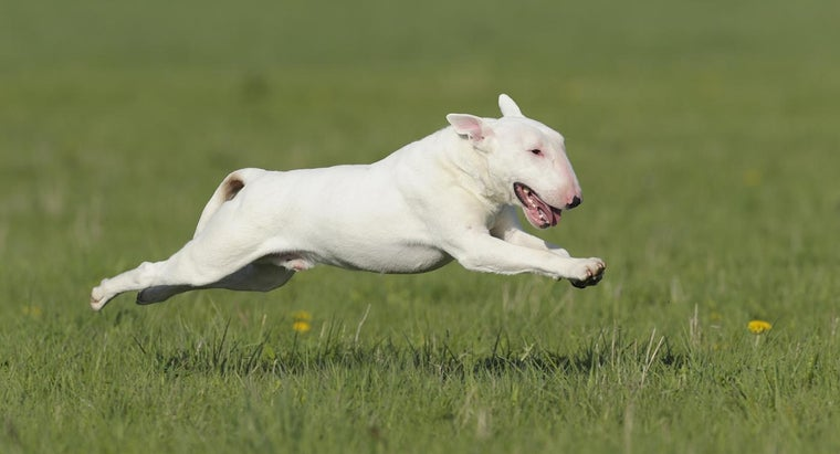 What Are the Steps for Adopting a Bull Terrier?