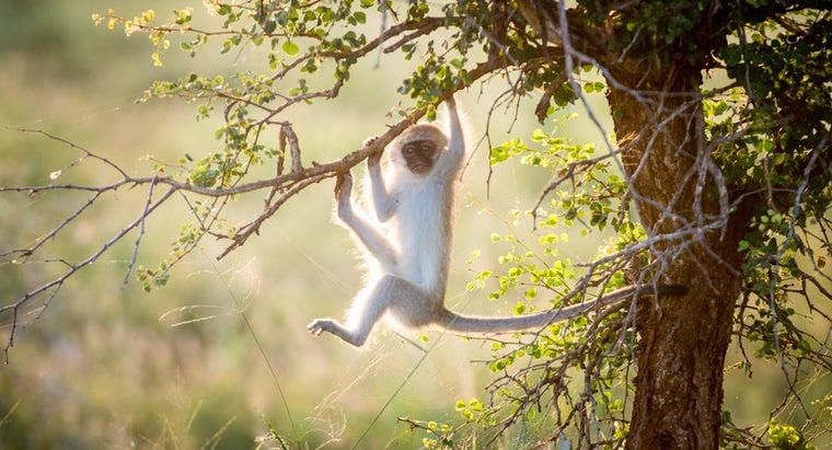 Is It Safe to Have a Monkey for a Pet?