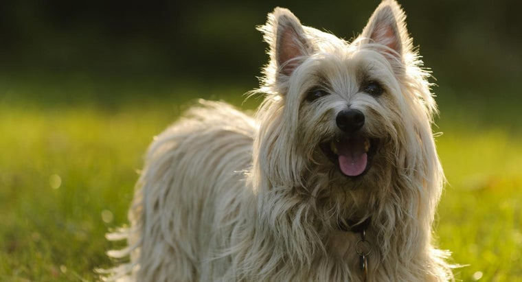 Where Can You Find Free Cairn Terrier Puppies?