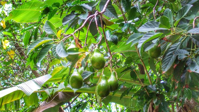 How Do You Prune Avocado Trees?