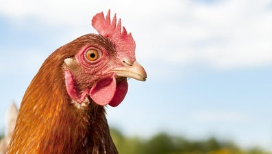 Can You Hypnotize a Chicken?