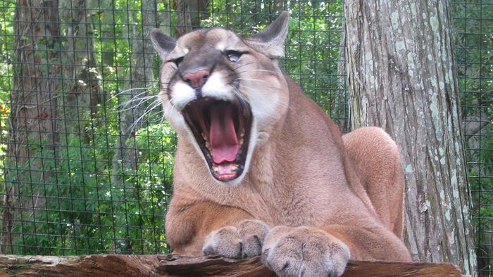 What Camera Is Needed to Take Good Photographs of Cougars?