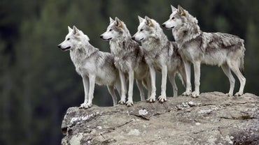 What Are Some Interesting Facts About Grey Wolves?