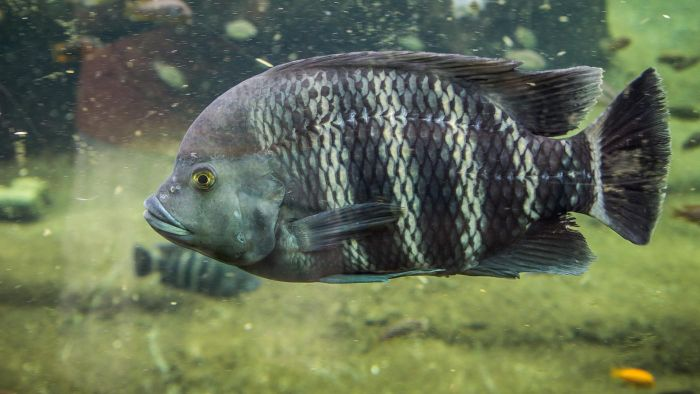 What Is the Origin of the Tilapia Fish?
