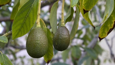 When Is a Good Time to Plant Avocado Trees?