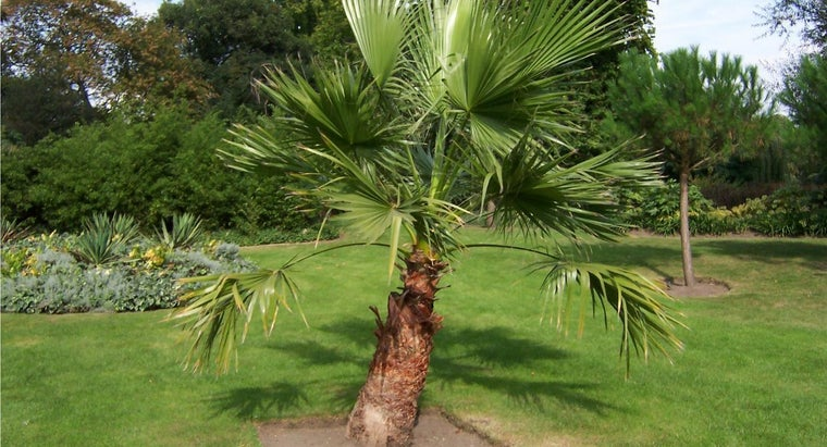 Are Dwarf Palm Trees Recommended for Landscaping?