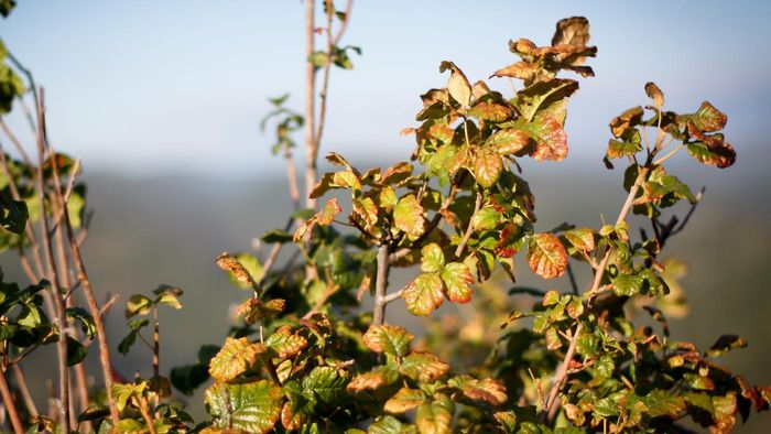 Is there a natural cure for a poison oak rash?