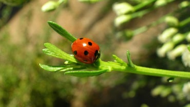 Are Ladybugs Harmful to Pets or Children?