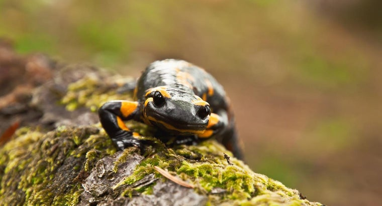 Where Are Salamanders Typically Found?