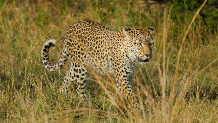 What Is a Leopard's Habitat?