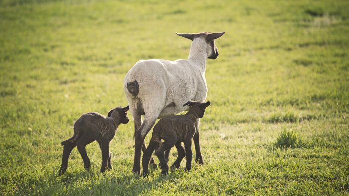 What Are the Laws Regarding Breeding Different Species of Farm Animals?