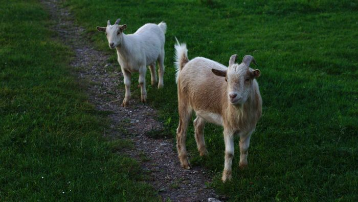 What Are the Top-Selling Farm Goats?
