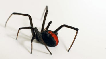 What Are Some Facts About the Black Widow Spider?