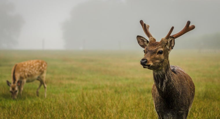 What Do Deer Eat?