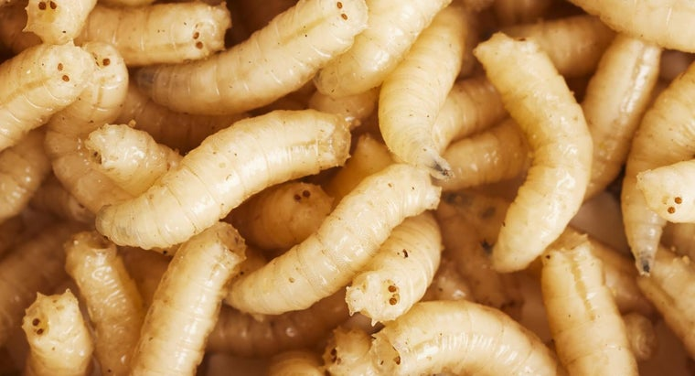 What Is a Home Remedy to Kill Maggots?