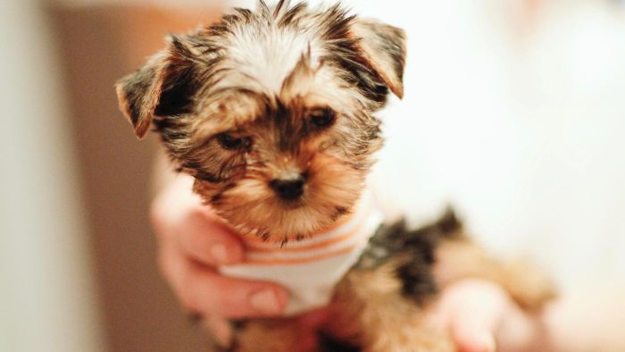 What Are Some Names for a Female Yorkie Puppy?