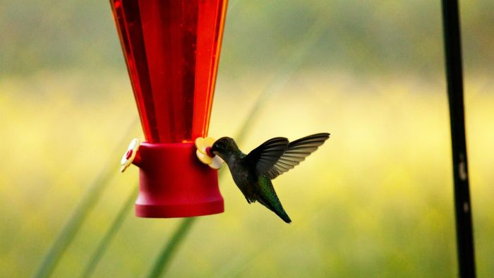 What Are Some Easy Hummingbird Nectar Recipes?